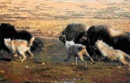 På Grönland lever polarvargen och myskoxen i kontrollerad samvaro